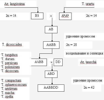 Рис. 7 Схема филогении рода