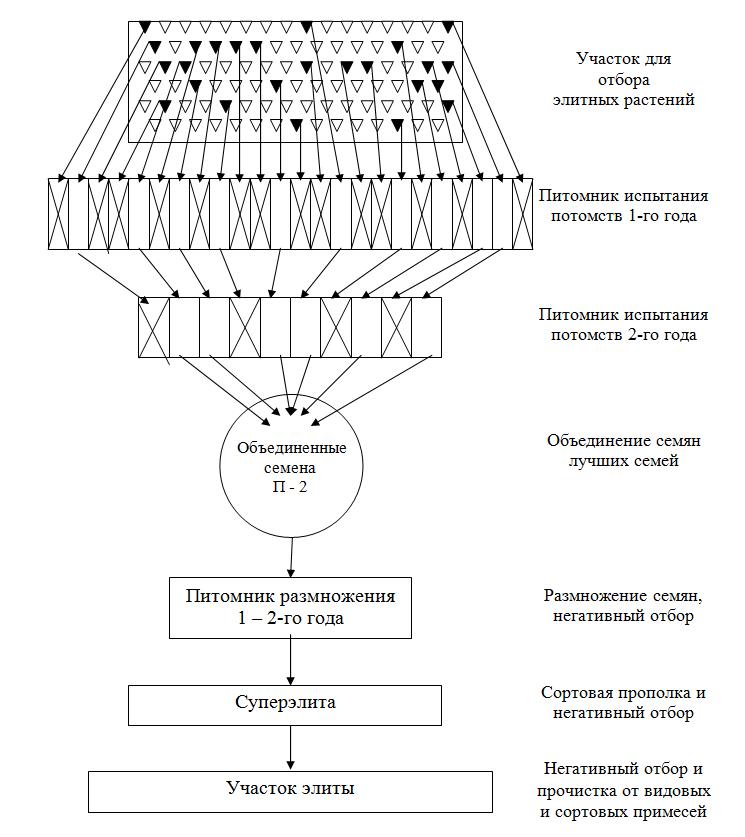 Схема первичного семеноводства